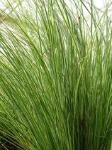 Carex Raureif
