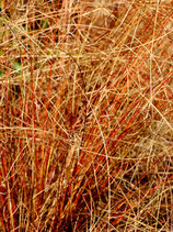 Carex Bronze Form