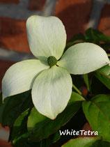 Blumenhartriegel Blooming (immergrün)