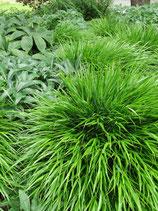 Japanberggras Greenhills