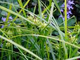 Carex Saladin