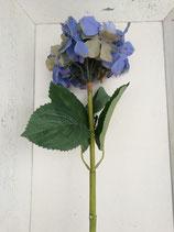Hortensie hellblau