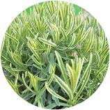 "Lavandula angustifolia ""Platinum Blonde"""
