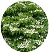"""Viburnum plicatum """"Mariesii"""""""