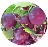 "Ribes crispa ""Hinnonmaki Red"""