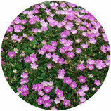 "Erodium x variabile ""Bishop's form"""