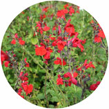 "Salvia microphylla ""Royal Bumble"""