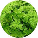 Pelargonium citrosum