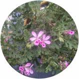"Pelargonium ""Fair Ellen"""