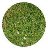 Pratia (Lobelia pedunculata)
