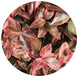 """Trachelospermum jasminoides """"Variegatum"""""""