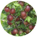 "Ribes crispa ""Captivator"""