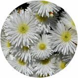 """Lampranthus spectabiliis """"Alba"""""""