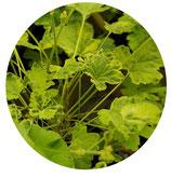"""Pelargonium """"Creamy Nutmeg"""""""