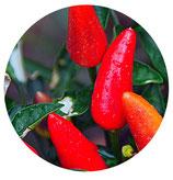Chile Casero Siberiano (Capsicum annuum)