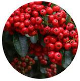 """Pyracantha coccinea """"Red Cushion"""" (Espino de fuego)"""