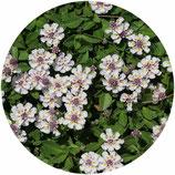 Phyla nodiflora (Lippia nodiflora)