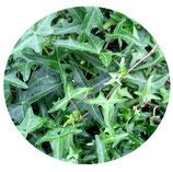 "Hedera helix ""Sagittifolia"""