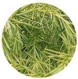 """Cryptomeria japonica """"Elegans viridis"""""""