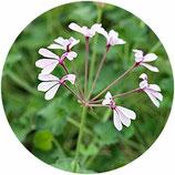 Pelargonium Lavender Lindy