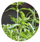 Ajedrea de jardín (Satureja hortensis)