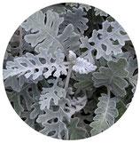 Cineraria maritima (Jacobaea maritima)