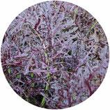 Mizuna púrpura (Brassica rapa subsp. nipposinica)