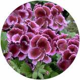 """Pelargonium """"Fareham"""""""