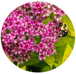 "Spiraea japonica ""Anthony Waterer"""