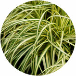 "Carex oshimensis ""Evergold"""