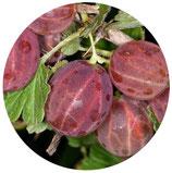 "Ribes crispa ""Rokula Rosa"""
