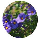 Solanum rantonetti (Lycianthes rantonetti)