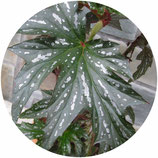 "Begonia ""Sophie Cecile"""