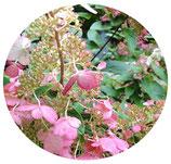 "Hydrangea paniculata ""Pink Diamond"""
