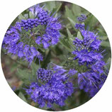 "Caryopteris x clandonensis ""First Choice"""