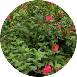 """Salvia """"Maraschino"""""""