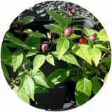 Capsicum annuum (Chile de Cereza Húngaro)