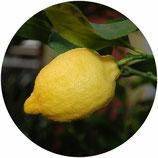 "Limonero ""Eureka"" (Citrus x limon)"