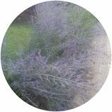 Salvia rusa (Perovskia atriplicifolia)