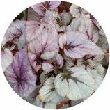 "Begonia ""Fairy"""