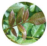 Cornicabra (Pistacia terebinthus)