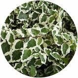 "Ficus pumila ""Variegata"""