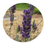 """Lavandula angustifolia """"Hidcote Blue"""""""