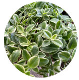 "Aptenia cordifolia ""Variegata"""