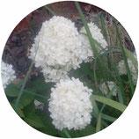 "Hydrangea paniculata ""Limelight"""