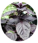"Albahaca morada (Ocimum basilicum ""Red Rubin"")"