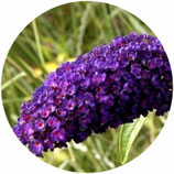 "Buddleja davidii ""Black Knight"""