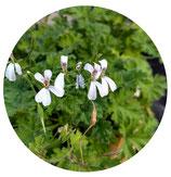 Pelargonium Liliam Pottinger