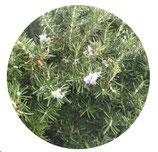 "Rosmarinus officinalis ""Boule"""