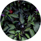 """Capsicum annuum """"Black Olive"""""""